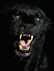 картинки злая пантера