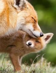 лиса и лисёнок картинки