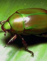 Картинка майский жук для мобильного